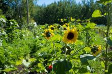 Sunflower growing in sun